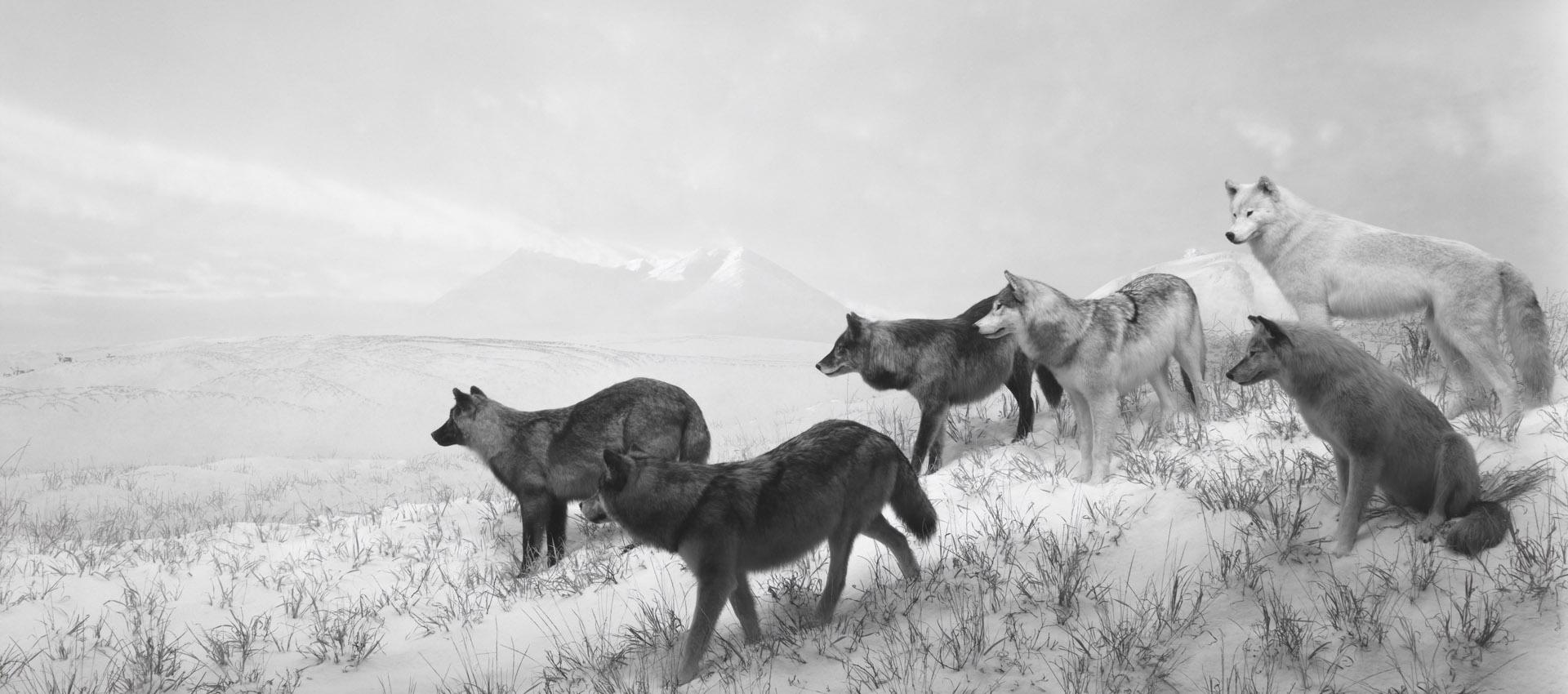 Alaskan Wolves, 1994. Size.- 119.5 x 211 cm. Gelatin silver print. Photography © Hiroshi Sugimoto. Image courtesy of Fundación Mapfre