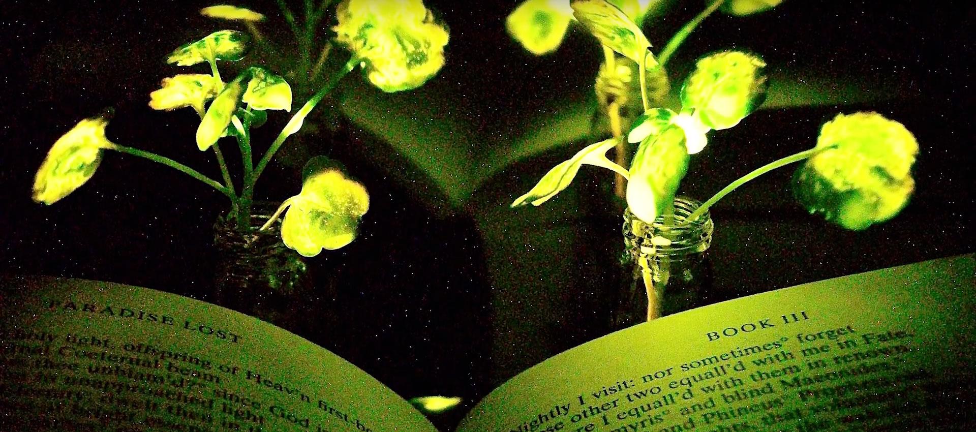 Seon-Yeong Kwak. Iluminación de un libro con las plantas emisoras de luz nanobiónica (dos plantas de berros de tres semanas y media de edad). El libro y las plantas de berros emisores de luz se colocaron frente a un papel reflectante para aumentar la influencia de las plantas emisoras de luz en las páginas del libro