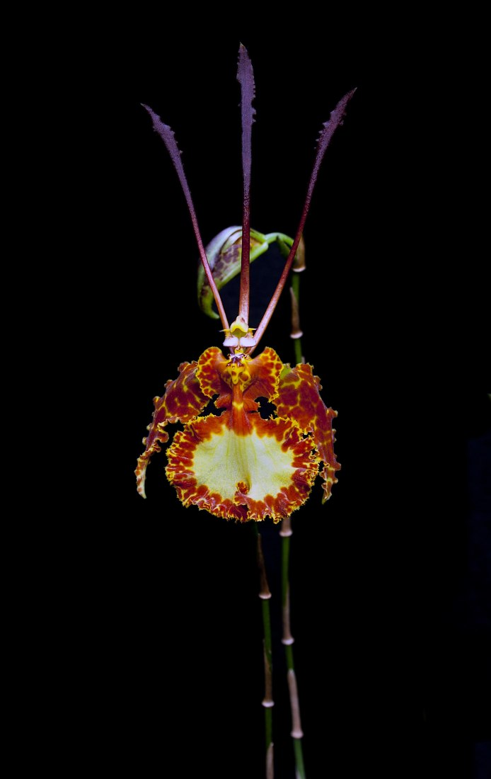 Psychopsis krameriana. Exoticism and legend of orchids, in the Royal Botanic Garden by Gerardo Torres